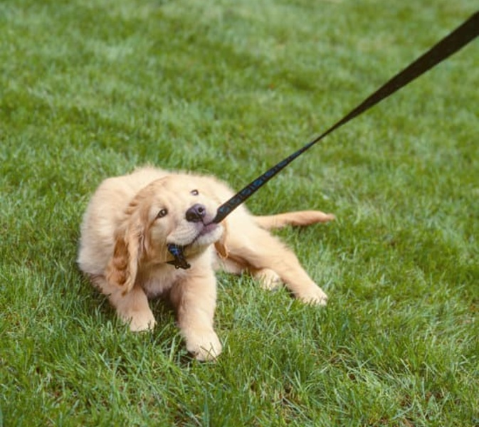 3 Easy Steps to stopping your puppy biting the lead on your walk.